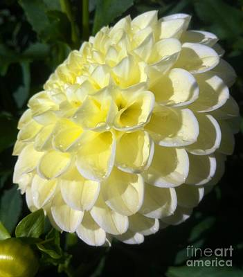 Photograph - Lemon Soft Dahlia  by Susan Garren