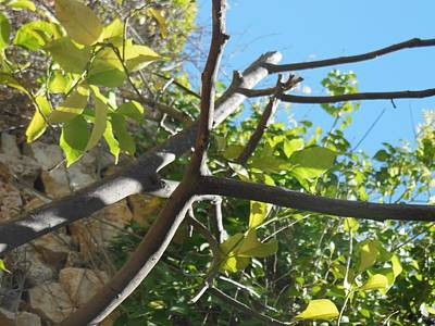 Photograph - Lemon Tree Branches by Esther Newman-Cohen