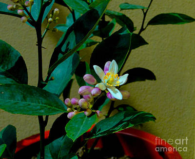 Lemon Tree Flower Art Print by Al Bourassa