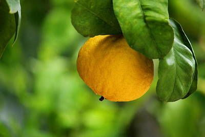 Photograph - Lemon Tree by Heike Hultsch