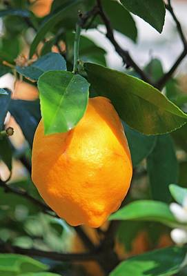 Photograph - Lemon Tree by Michael Saunders