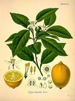Lemon Painting - Lemon Tree by Philip Ralley
