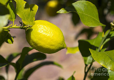 Photograph - Lemon Tree Very Pretty by Steven Ralser