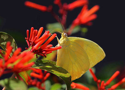Photograph - Lemon Yellow Butterfly by Juergen Roth