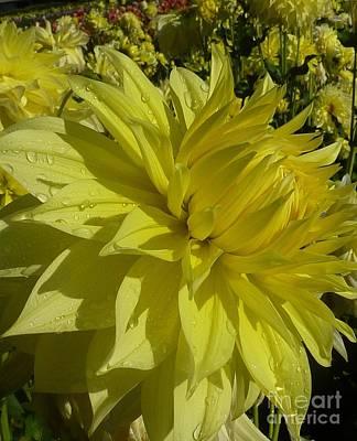 Lemon Yellow Dahlia  Art Print by Susan Garren