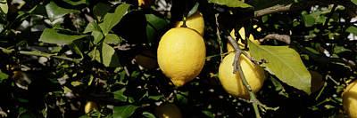 Lemons Growing On Tree, Vinaros Art Print