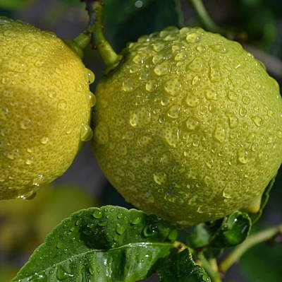 Photograph - Lemons In Rain by Cheryl Miller