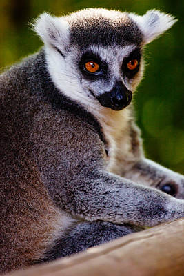 Lemur Catta Photograph - Lemur Closeup by Pati Photography