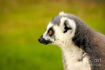 Photograph - Lemur by David Warrington
