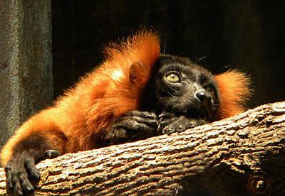 Lemur In Longing Art Print by Phillip W Strunk