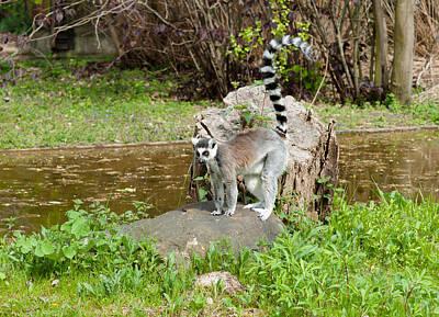 Photograph - Lemur by Iryna Soltyska