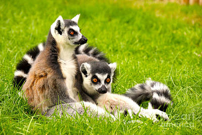 Photograph - Lemurs by David Warrington