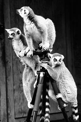 Photograph - Lemurs Perched On Tripod by Goyo Ambrosio