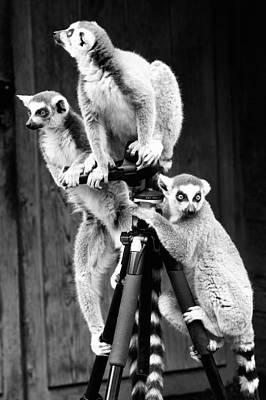 Photograph - Lemurs Perched On Tripod by Goyo Ambrosio