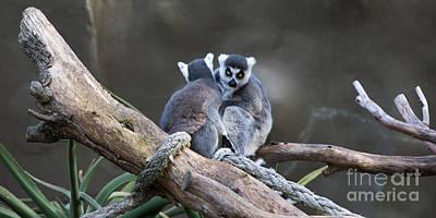 Photograph - Lemur's by Shannon Rogers