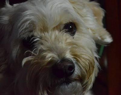 Adorable French Bulldog Puppy Photograph - Lenny 3 by Jeffrey J Nagy