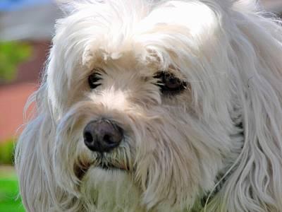 Adorable French Bulldog Puppy Photograph - Lenny 4 by Jeffrey J Nagy