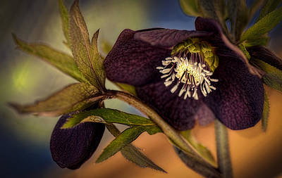 Floral Digital Art Digital Art - Lenten Rose Hellebore Floral by Julie Palencia