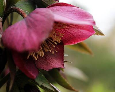 Photograph - Lenten Rose by Joseph Skompski