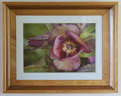 Photograph - Lenten Rose by Rick Hartigan