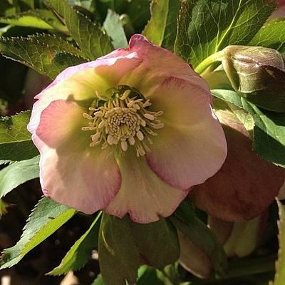 #lentenrose #helebore #spring #flower Art Print