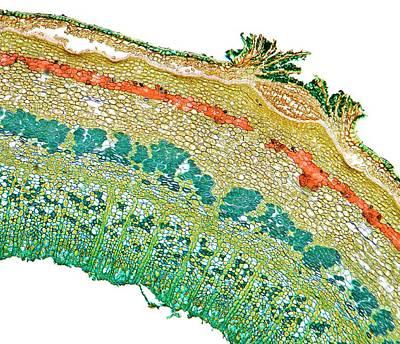 Lentil Plant Stem Art Print by Dr Keith Wheeler