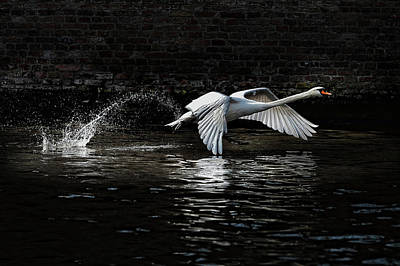 Swan Wall Art - Photograph - L\'envol by Piet Flour