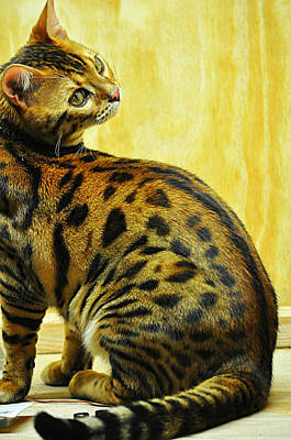 Photograph - Leo The Bengal by Mary Frances