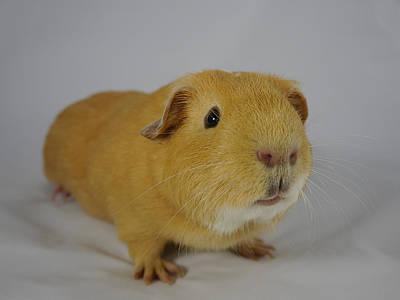Photograph - Leonardo The Guinea Pig by Richard Reeve