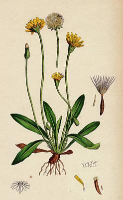 Botanica Drawing - Leontodon Hirtus Hairy Hawk-bit by English School