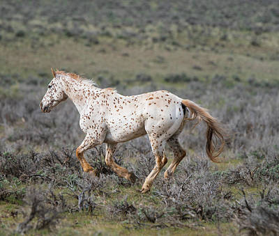 Leopard Appaloosa Horse Art Print by Michael Lustbader
