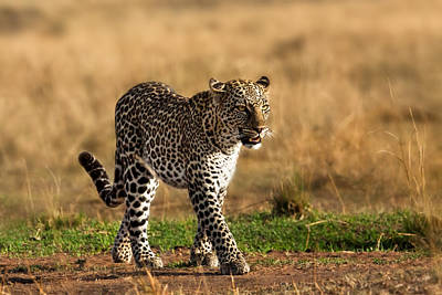 Leopard Binti Masai Mara Art Print by Maggy Meyer