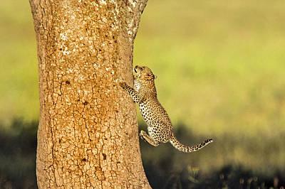 Leopard Cub Panthera Pardusclimbing Art Print