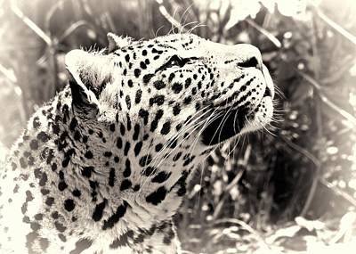 Photograph - Leopard Dreams by Dan Sproul