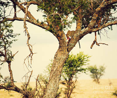 Animals Photograph - Leopard Eating His Victim On A Tree In Tanzania by Michal Bednarek
