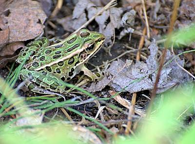 Photograph - Leopard Frog And Leaf Litter by Andrew Miles