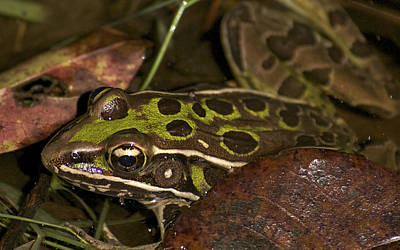 Photograph - Leopard Frog by Greg Vizzi