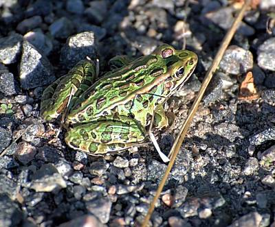 Photograph - Leopard Frog In Gravel II by Andrew Miles