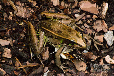 Photograph - Leopard Frog With Butterfly by Angela DeFrias
