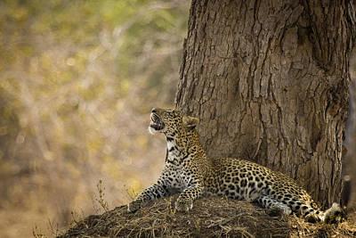 Photograph - Leopard Gazing Up by Alison Buttigieg