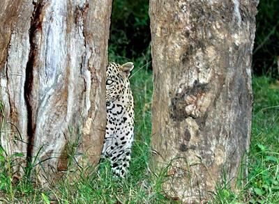 Hiding Photograph - Leopard Hiding Amongst Trees by K Jayaram
