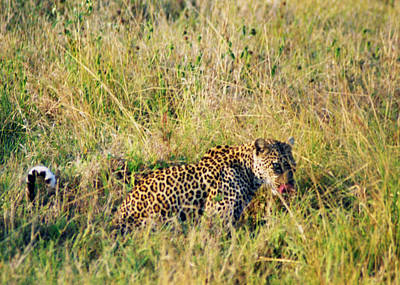 Photograph - Leopard Hunting No 2 by Belinda Greb
