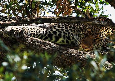 Leopard In A Tree Original by Aidan Moran