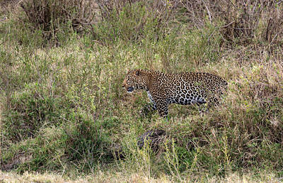 Photograph - Leopard In The Grass by June Jacobsen
