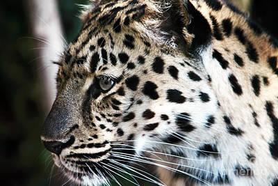 Photograph - Leopard by John Rizzuto