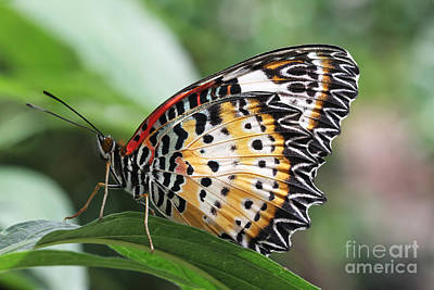 Leopard Lacewing Butterfly Art Print by Judy Whitton
