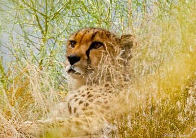 Leopard Headshot Original by Patrick Sullivan