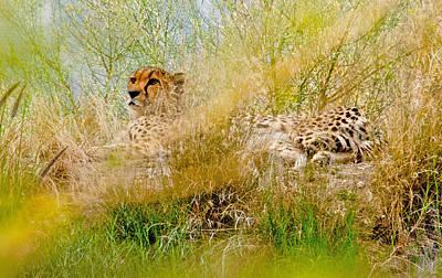 Leopard Laying Lo Original by Patrick Sullivan