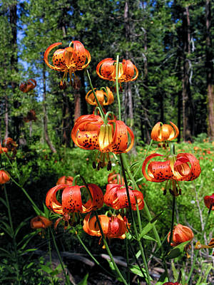 Photograph - Leopard Lilies Blooming In The Woods by Kathleen Bishop