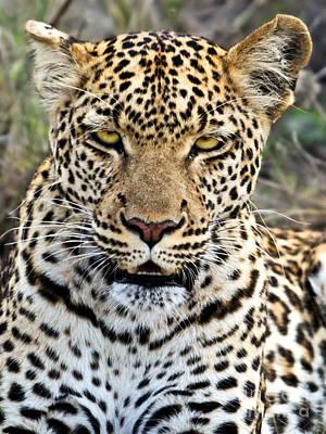 Mammal Photograph - Wild Leopard In Botswana by Liz Leyden